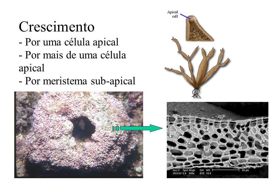 Organização celular Parede Celular Interna - microfibrilas de celulose Externa - galactanas (agar e carragenana) - Carbonatos Carragenana Carbonatos Peyssonnelia