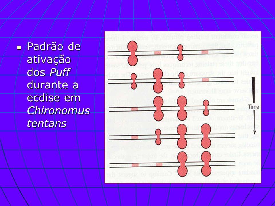 Padrão de ativação dos Puff durante a ecdise em Chironomus tentans Padrão de ativação dos Puff durante a ecdise em Chironomus tentans