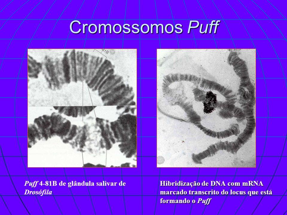 Cromossomos Puff Puff 4-81B de glândula salivar de Drosófila Hibridização de DNA com mRNA marcado transcrito do locus que está formando o Puff