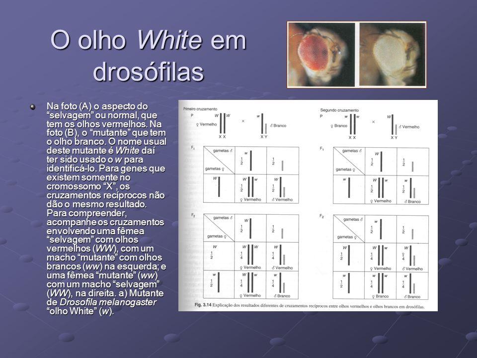 O olho White em drosófilas Na foto (A) o aspecto do selvagem ou normal, que tem os olhos vermelhos. Na foto (B), o mutante que tem o olho branco. O no