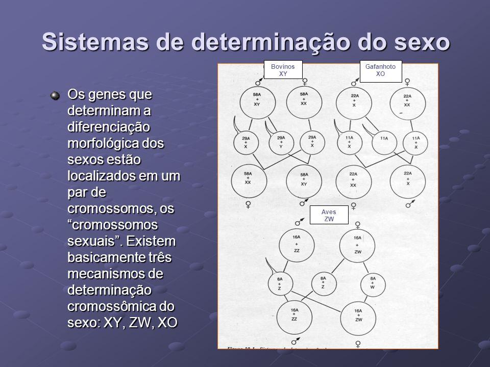 Sistemas de determinação do sexo Os genes que determinam a diferenciação morfológica dos sexos estão localizados em um par de cromossomos, os cromosso