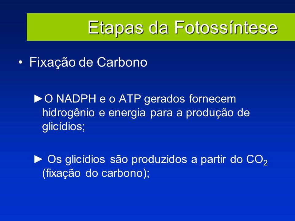 Etapas da Fotossíntese Fixação de Carbono O NADPH e o ATP gerados fornecem hidrogênio e energia para a produção de glicídios; Os glicídios são produzi