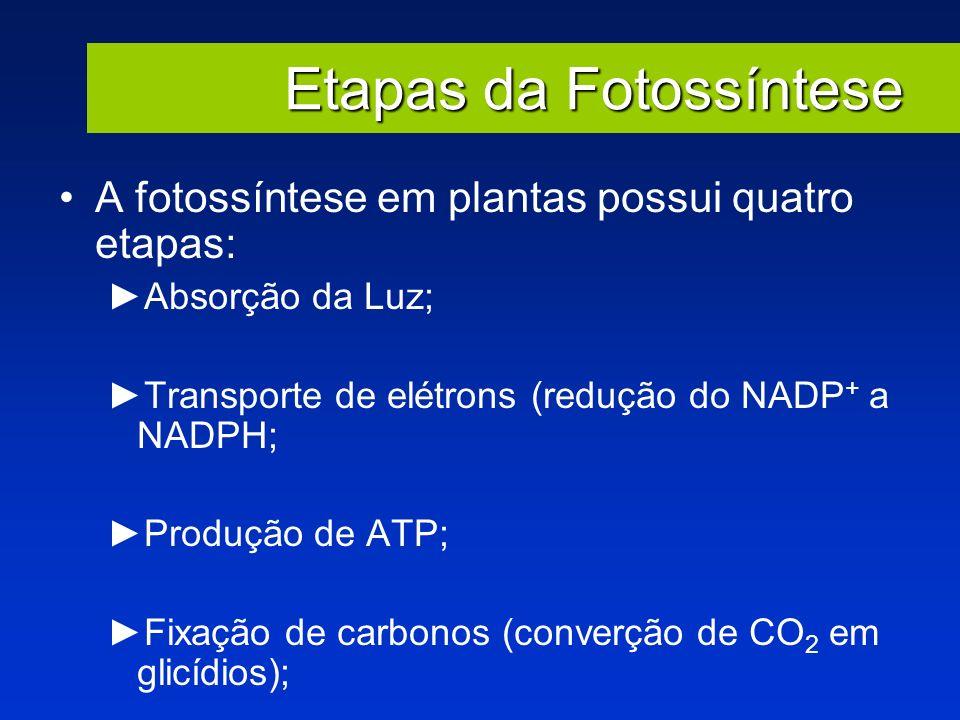 Etapas da Fotossíntese A fotossíntese em plantas possui quatro etapas: Absorção da Luz; Transporte de elétrons (redução do NADP + a NADPH; Produção de