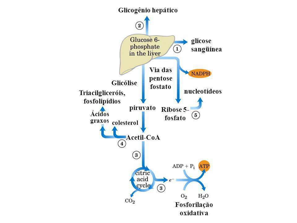 Glicogênio hepático glicose sangüínea Glicólise nucleotídeos Via das pentose fostato Ribose 5- fosfato piruvato Triacilgliceróis, fosfolipídios Acetil-CoA Ácidos graxos colesterol Fosforilação oxidativa