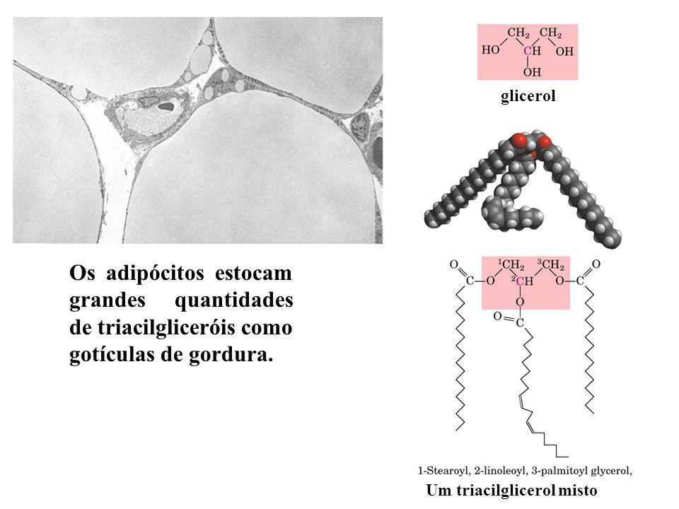 Os adipócitos estocam grandes quantidades de triacilgliceróis como gotículas de gordura.