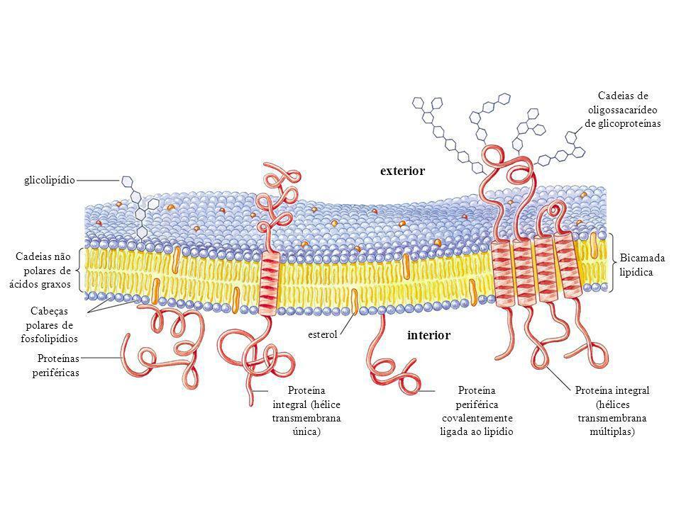 exterior interior glicolipídio Cadeias não polares de ácidos graxos Cabeças polares de fosfolipídios Proteínas periféricas Proteína integral (hélice transmembrana única) Proteína periférica covalentemente ligada ao lipídio esterol Proteína integral (hélices transmembrana múltiplas) Bicamada lipídica Cadeias de oligossacarídeo de glicoproteínas