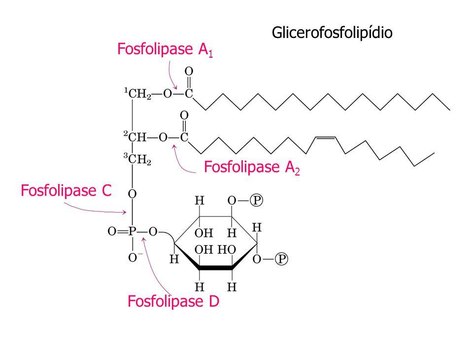 Glicerofosfolipídio Fosfolipase A 1 Fosfolipase A 2 Fosfolipase C Fosfolipase D