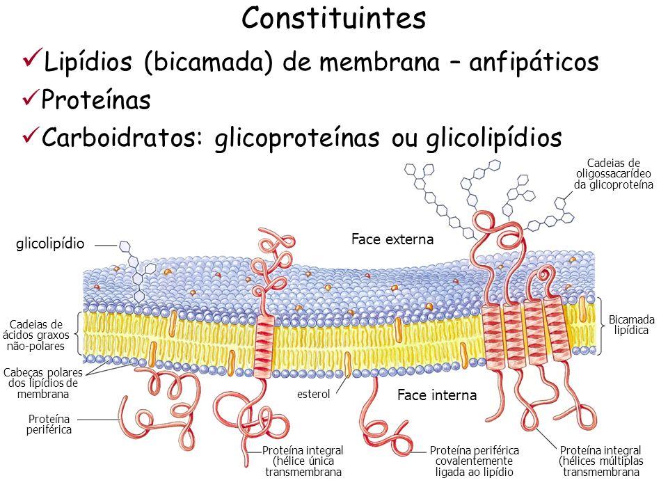 Constituintes Lipídios (bicamada) de membrana – anfipáticos Proteínas Carboidratos: glicoproteínas ou glicolipídios Face externa Face interna glicolip