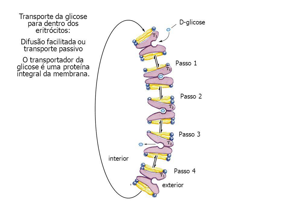 interior exterior D-glicose Passo 1 Passo 2 Passo 3 Passo 4 Transporte da glicose para dentro dos eritrócitos: Difusão facilitada ou transporte passiv
