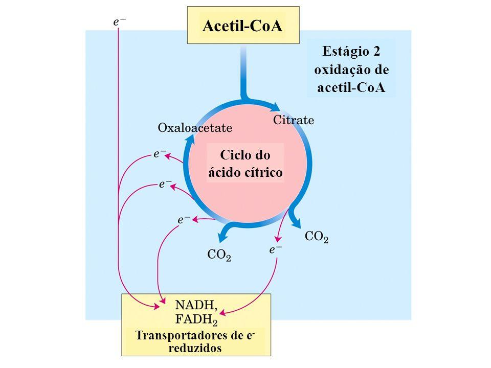 Estágio 2 oxidação de acetil-CoA Acetil-CoA Transportadores de e - reduzidos Ciclo do ácido cítrico