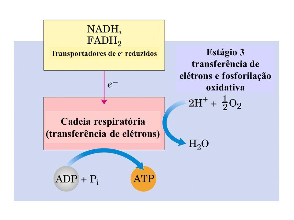 succinato desidrogenase succinato fumarato - a enzima succinato desidrogenase está ligada à membrana interna da mitocôndria