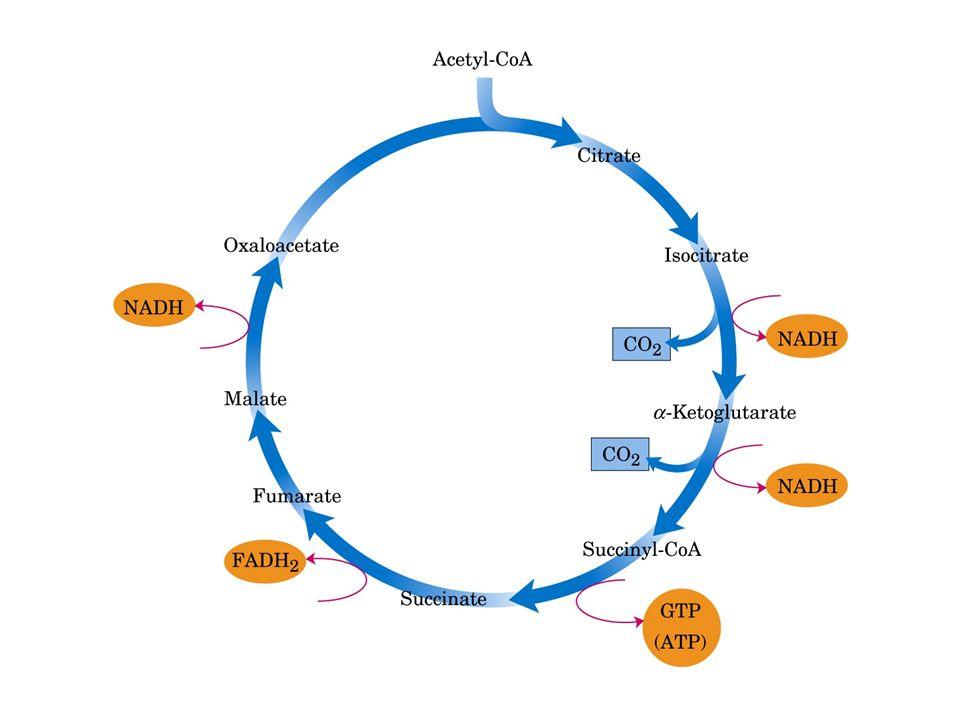 O ciclo do ácido cítrico é uma via ANFIBÓLICA Serve tanto a processos catabólicos quanto anabólicos.