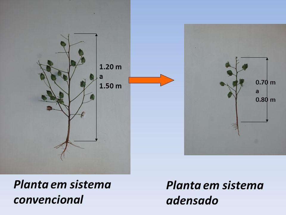 1.20 m a 1.50 m Planta em sistema convencional Planta em sistema adensado 0.70 m a 0.80 m