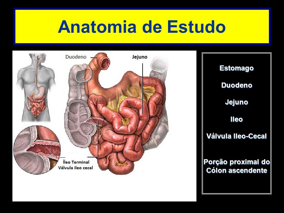 Anatomia de Estudo EstomagoDuodenoJejunoIleo Válvula Ileo-Cecal Porção proximal do Cólon ascendente