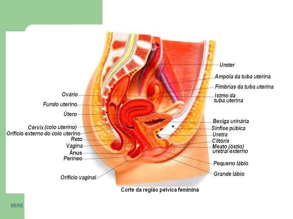 Órgãos internos BERE