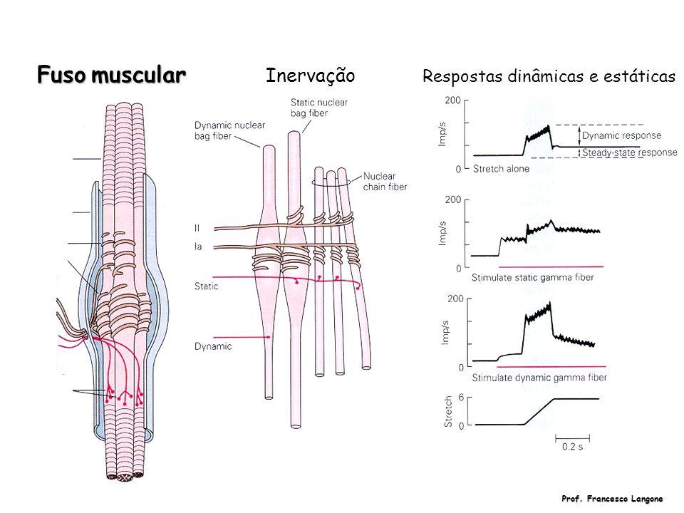 Fusomuscular Fuso muscular Inervação Respostas dinâmicas e estáticas