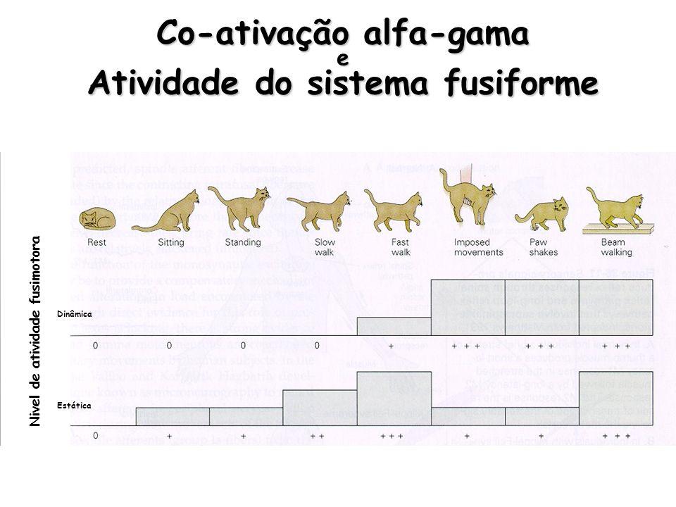 Co-ativação alfa-gama e Atividade do sistema fusiforme Nivel de atividade fusimotora Dinâmica Estática