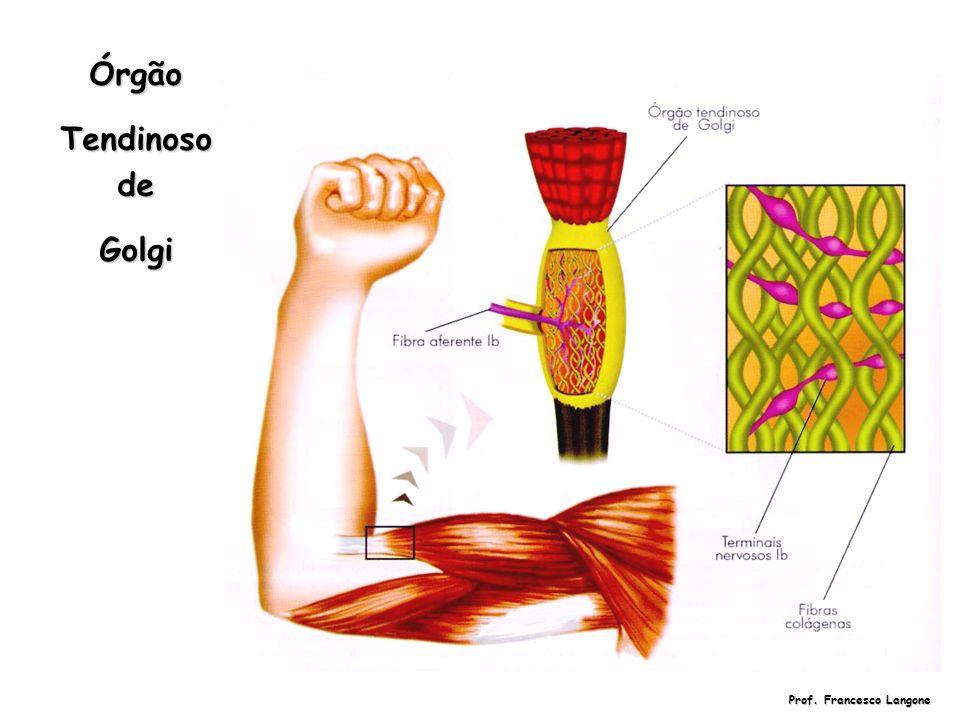 Prof. Francesco Langone Órgão Tendinoso de Golgi
