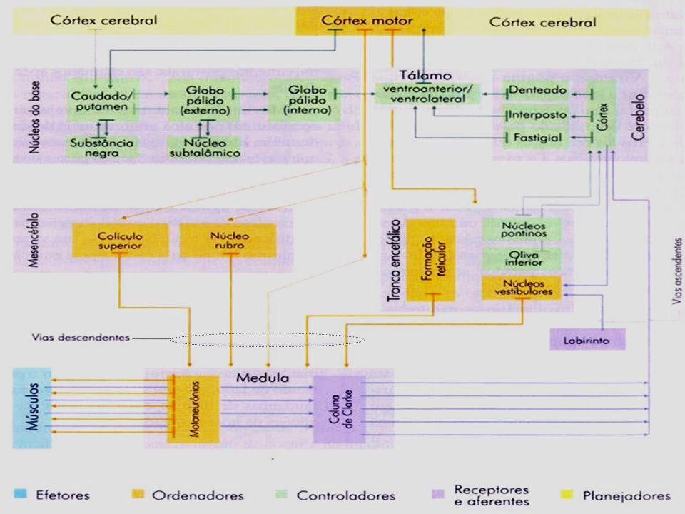 ESTRUTURAS EFETORAS ORDENADORAS CONTROLADORAS RECEPTORAS E AFERENTES PLANEJADORAS Prof.
