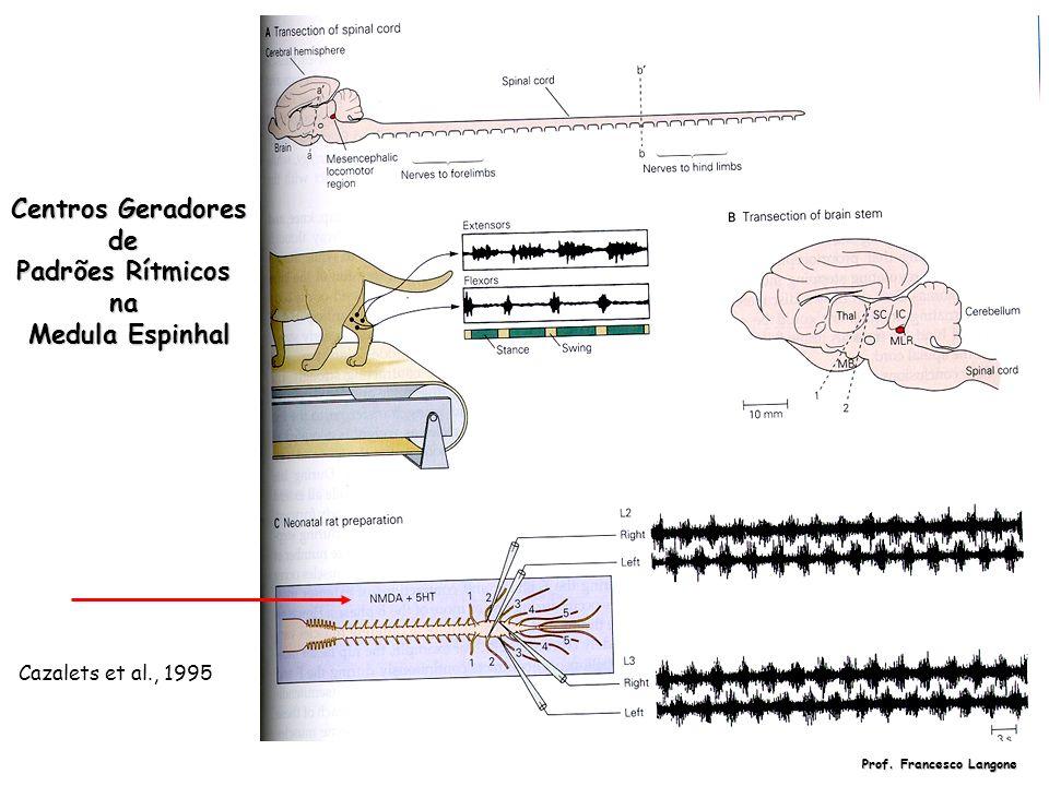 Centros Geradores de Padrões Rítmicos na Medula Espinhal Cazalets et al., 1995 Prof. Francesco Langone