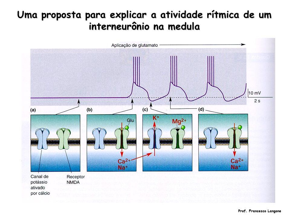 Uma proposta para explicar a atividade rítmica de um interneurônio na medula