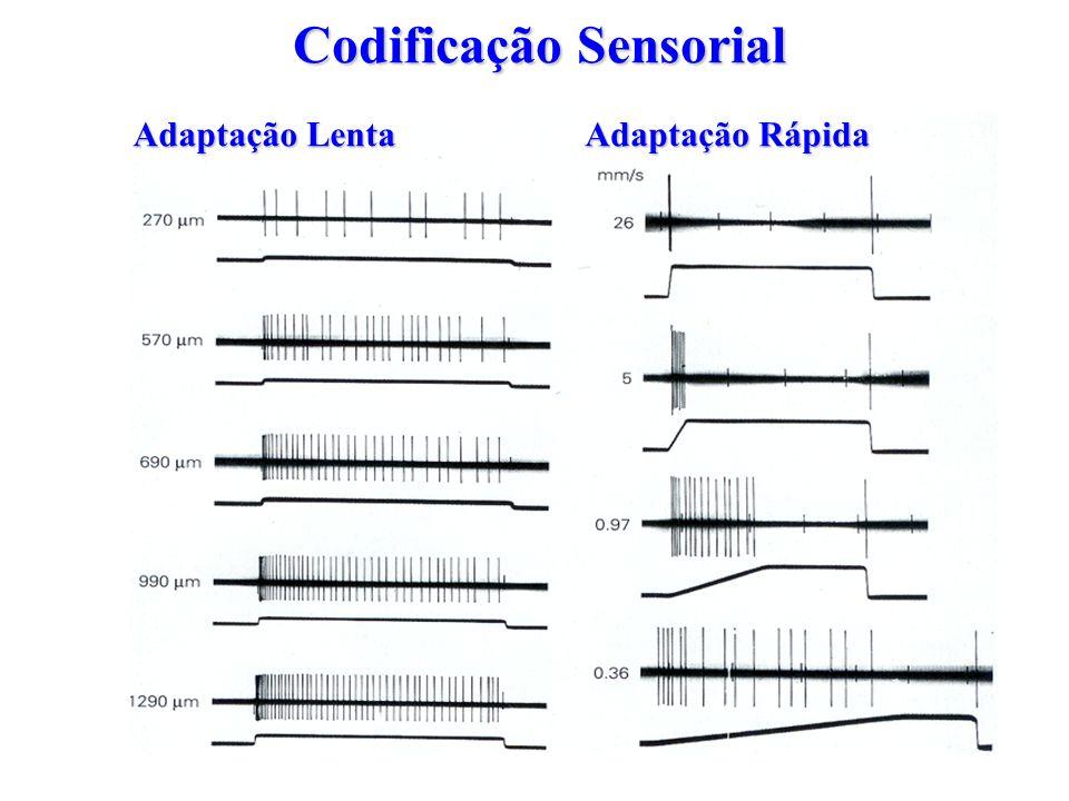Codificação Sensorial Adaptação Lenta Adaptação Rápida