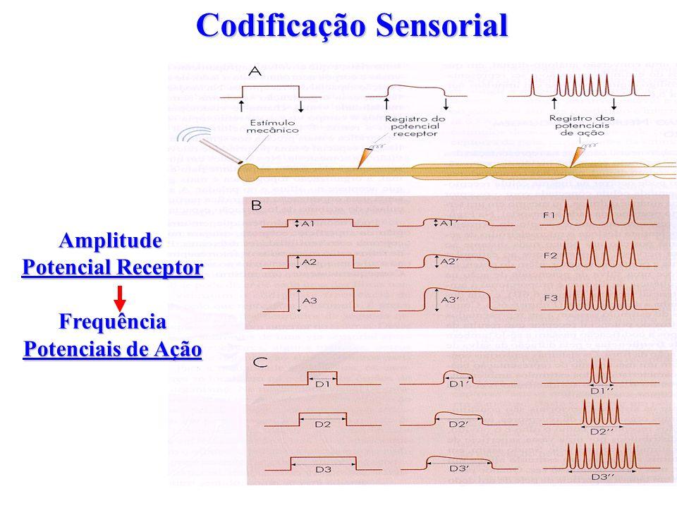 Codificação Sensorial Amplitude Potencial Receptor Frequência Potenciais de Ação