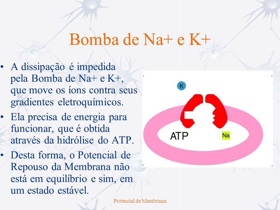 Potencial de Membrana Bomba de Na+ e K+ A dissipação é impedida pela Bomba de Na+ e K+, que move os íons contra seus gradientes eletroquímicos. Ela pr