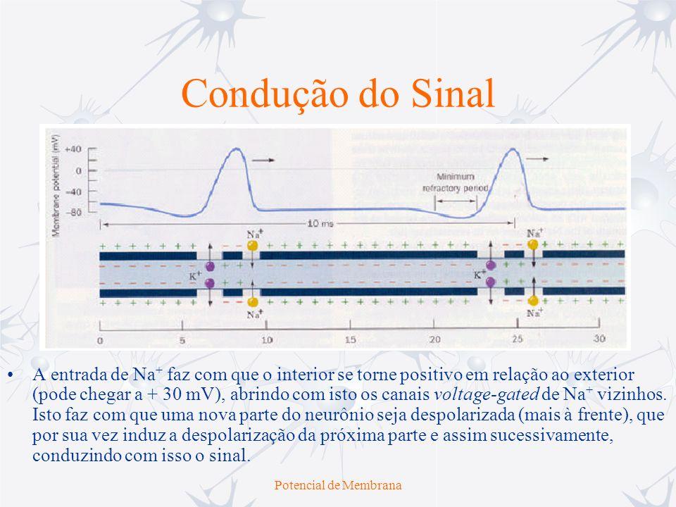 Potencial de Membrana Condução do Sinal A entrada de Na + faz com que o interior se torne positivo em relação ao exterior (pode chegar a + 30 mV), abr