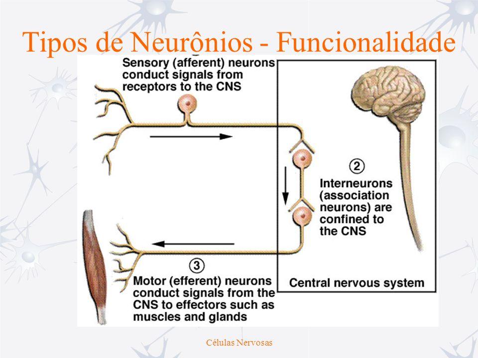 Células Nervosas Tipos de Neurônios - Funcionalidade