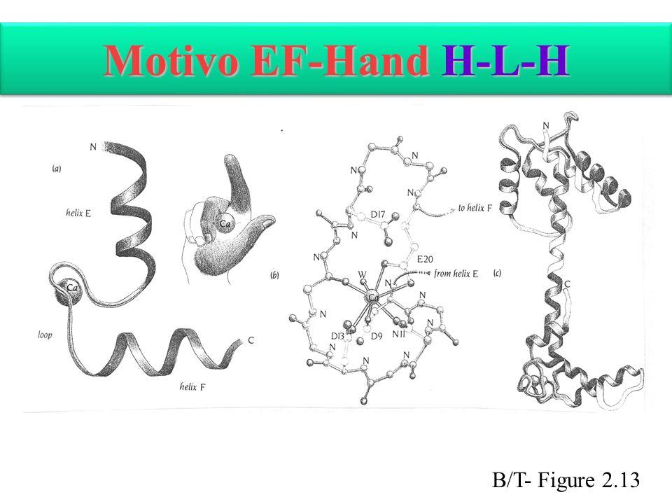 Motivo EF-Hand H-L-H B/T- Figure 2.13