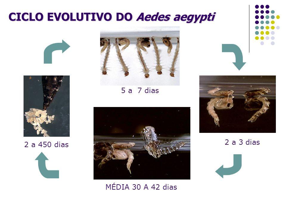 CICLO EVOLUTIVO DO Aedes aegypti 2 a 450 dias MÉDIA 30 A 42 dias 2 a 3 dias 5 a 7 dias