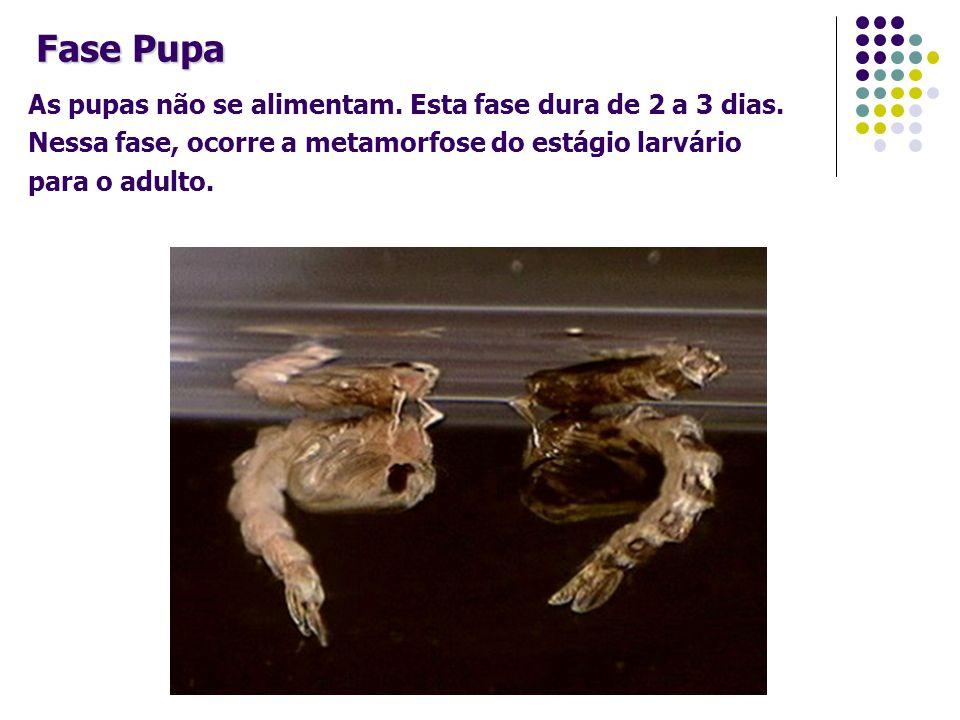 As pupas não se alimentam. Esta fase dura de 2 a 3 dias. Nessa fase, ocorre a metamorfose do estágio larvário para o adulto. Fase Pupa