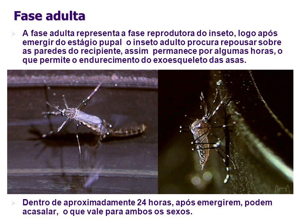 Fase adulta A fase adulta representa a fase reprodutora do inseto, logo após emergir do estágio pupal o inseto adulto procura repousar sobre as parede