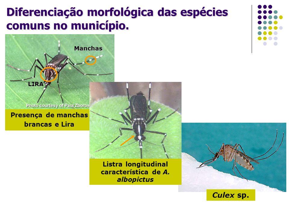 Diferenciação morfológica das espécies comuns no município. Culex sp. Presença de manchas brancas e Lira LIRA Manchas Listra longitudinal característi