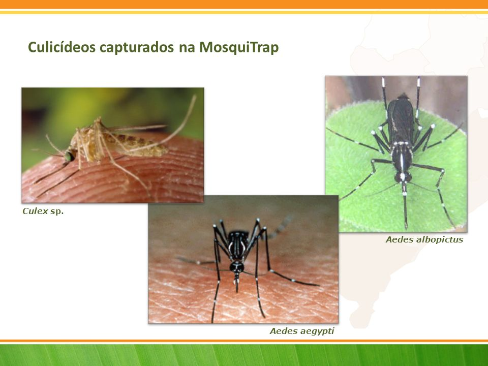 Culicídeos capturados na MosquiTrap Culex sp. Aedes albopictus Aedes aegypti