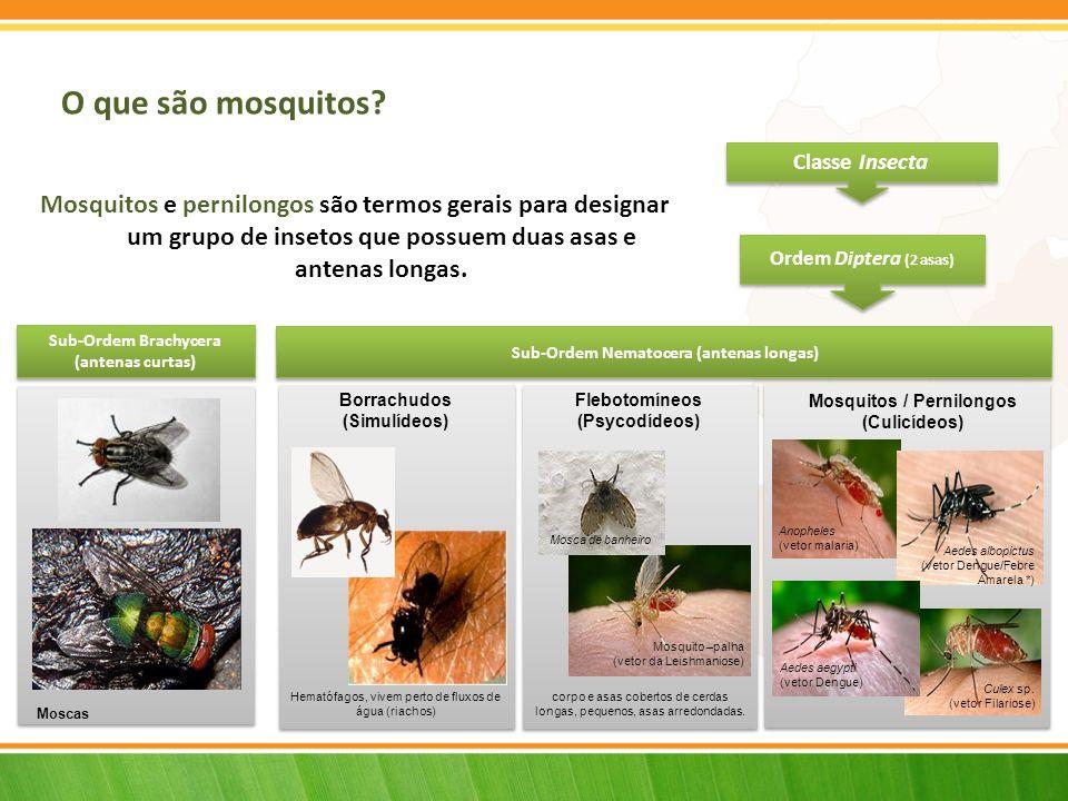 Mosquitos ou culicídeos TÓRAX ABDÓMEN CABEÇA