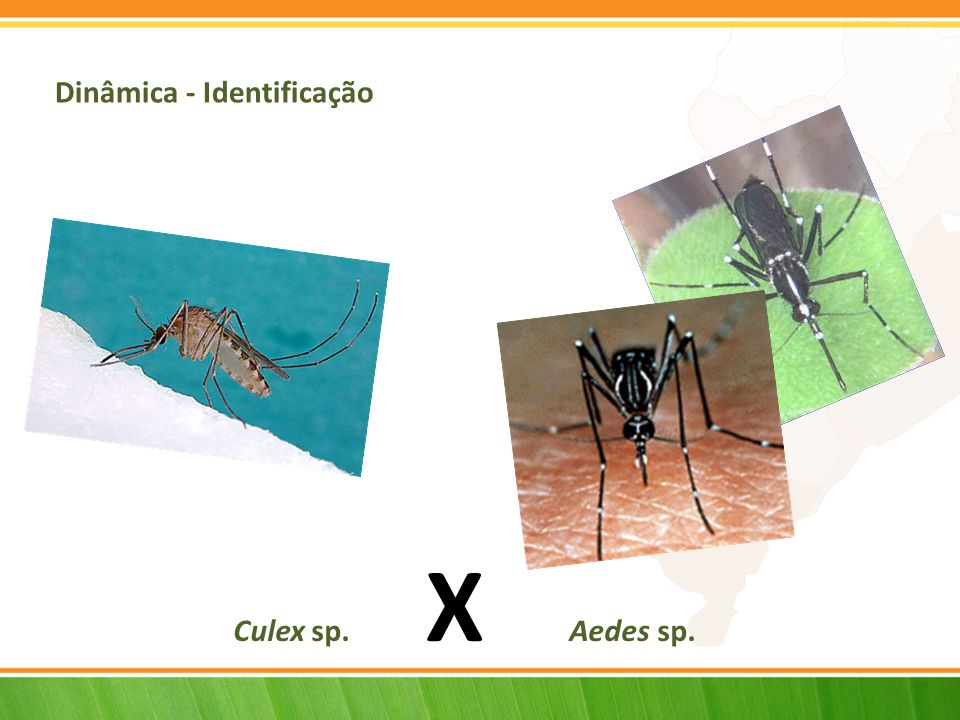 Aedes aegypti Coloração escura; Pequenas manchas brancas pelo corpo; Duas listras em forma de lira no tórax; Transmissor da Dengue; Urbanizado e Antropofílico; Hábitos diurnos (maior atividade no amanhecer e entardecer); Picada preferencial nas pernas e pés no intradomicílio; Sem zumbido; Preferem criadouros (artificiais e naturais) com água limpa no peridomicílio.