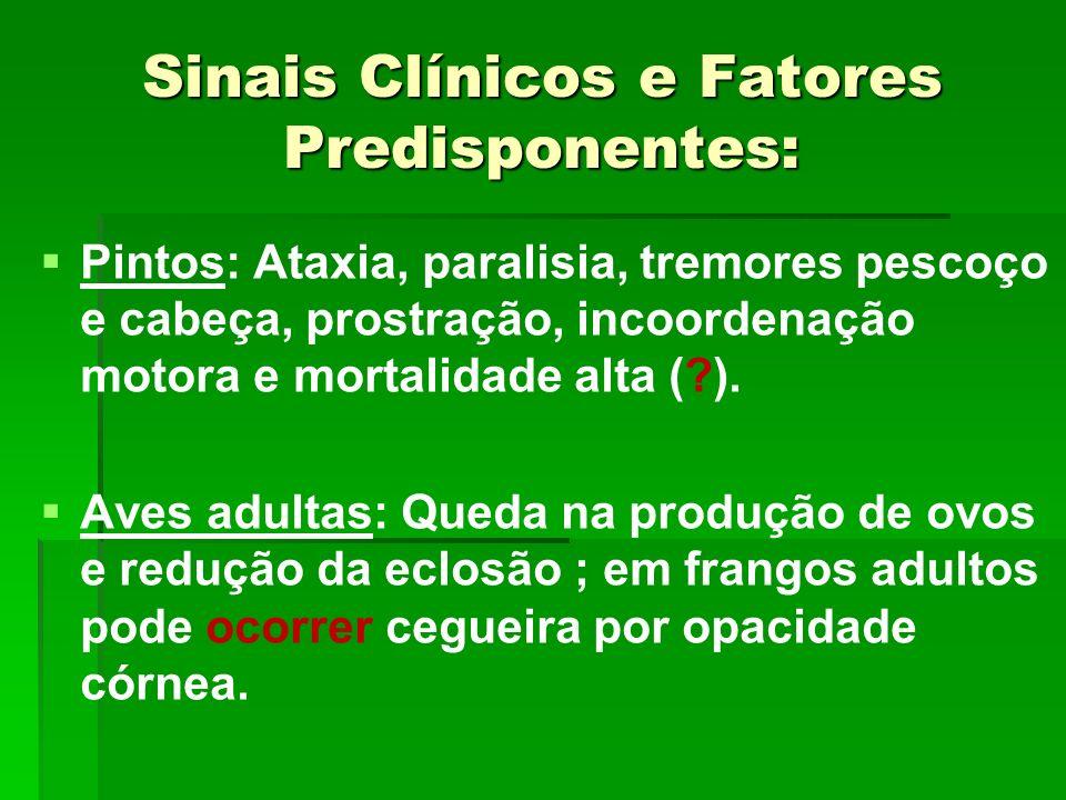 Sinais Clínicos e Fatores Predisponentes: Pintos: Ataxia, paralisia, tremores pescoço e cabeça, prostração, incoordenação motora e mortalidade alta (?