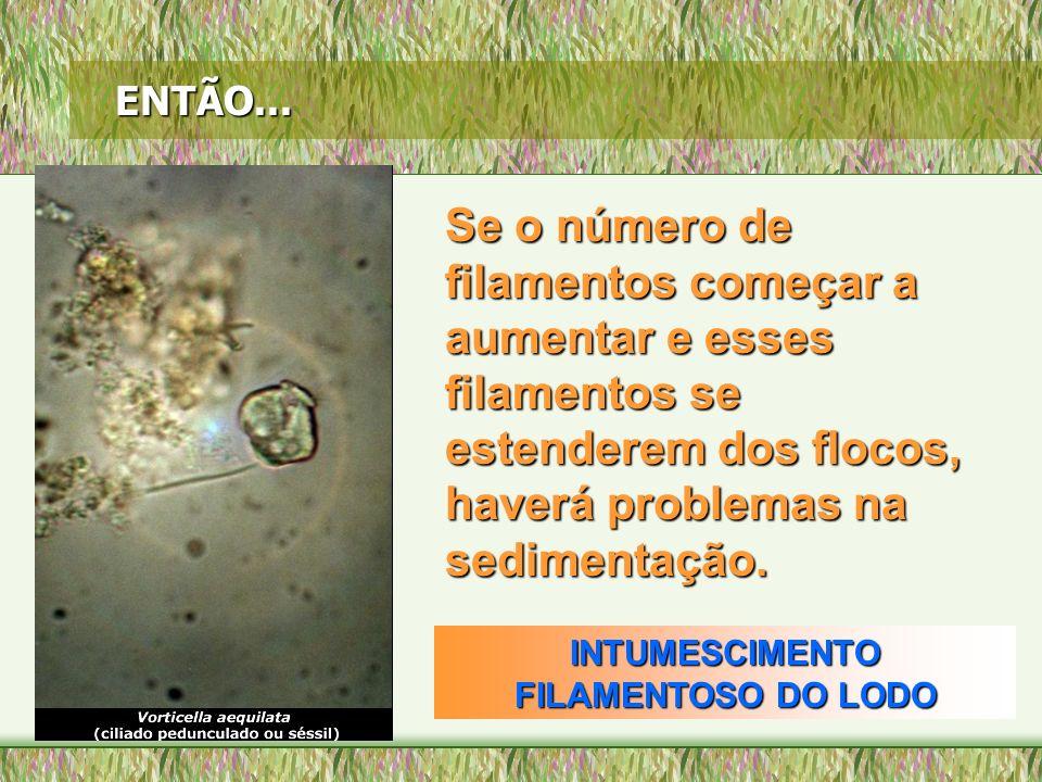 ENTÃO... Se o número de filamentos começar a aumentar e esses filamentos se estenderem dos flocos, haverá problemas na sedimentação. INTUMESCIMENTO FI
