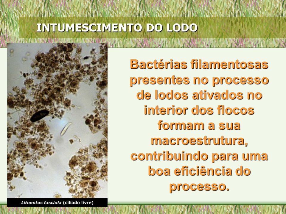 INTUMESCIMENTO DO LODO Bactérias filamentosas presentes no processo de lodos ativados no interior dos flocos formam a sua macroestrutura, contribuindo