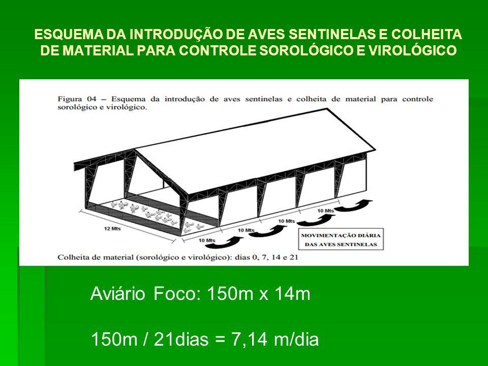 ESQUEMA DA INTRODUÇÃO DE AVES SENTINELAS E COLHEITA DE MATERIAL PARA CONTROLE SOROLÓGICO E VIROLÓGICO Aviário Foco: 150m x 14m 150m / 21dias = 7,14 m/