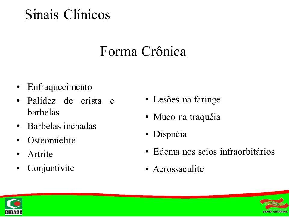 Sinais Clínicos Enfraquecimento Palidez de crista e barbelas Barbelas inchadas Osteomielite Artrite Conjuntivite Forma Crônica Lesões na faringe Muco