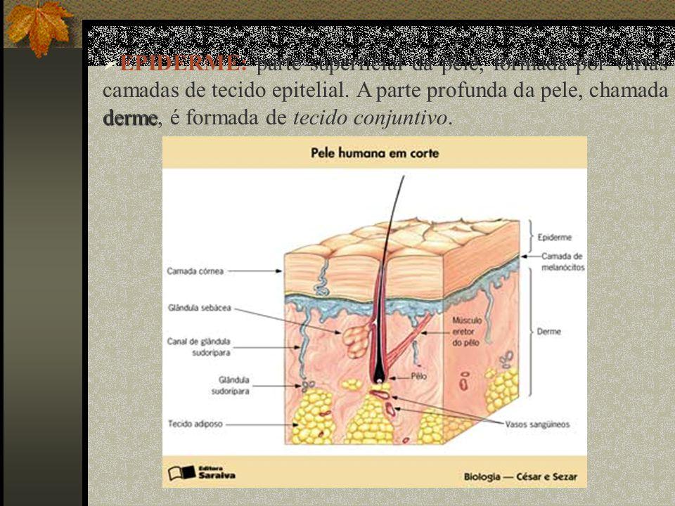derme EPIDERME: parte superficial da pele, formada por várias camadas de tecido epitelial. A parte profunda da pele, chamada derme, é formada de tecid
