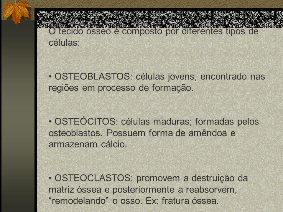 O tecido ósseo é composto por diferentes tipos de células: OSTEOBLASTOS: células jovens, encontrado nas regiões em processo de formação. OSTEÓCITOS: c
