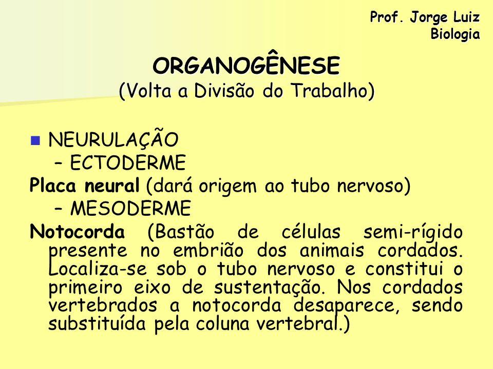 ORGANOGÊNESE (Volta a Divisão do Trabalho) NEURULAÇÃO – –ECTODERME Placa neural (dará origem ao tubo nervoso) – –MESODERME Notocorda (Bastão de célula