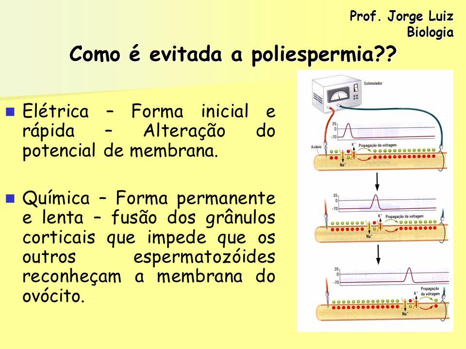 Como é evitada a poliespermia?? Elétrica – Forma inicial e rápida – Alteração do potencial de membrana. Química – Forma permanente e lenta – fusão dos