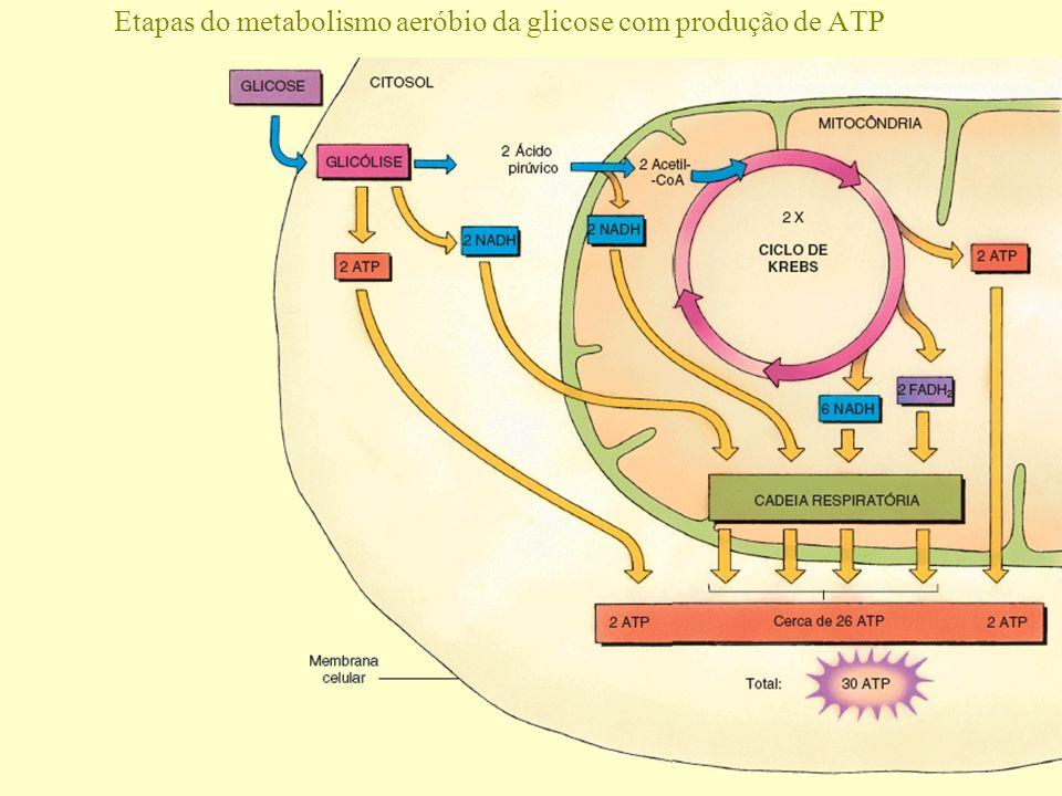 Complexos transportadores da cadeia respiratória e enzima do ATP Respiração celular Espaço entre as membranas mitocondriais externa e interna Membrana