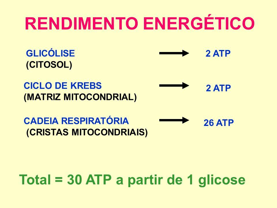 RESUMÃO GLICÓLISE 2 ATP 2 Ác. Pirúvico2 AcetilCoaA 2 NADH CADEIA RESPIRATÓRIA CICLO DE KREBS (2 VOLTAS) 2 ATP 2 FADH 2 6 NADH 26 ATP