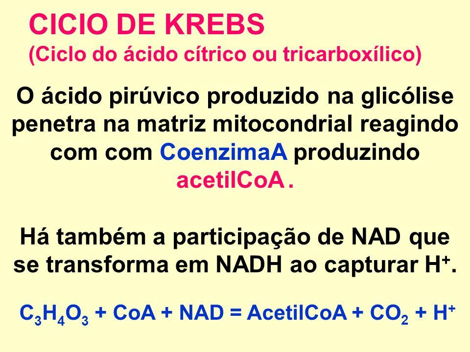 CICIO DE KREBS (Ciclo do ácido cítrico ou tricarboxílico) O ácido pirúvico produzido na glicólise penetra na matriz mitocondrial reagindo com com CoenzimaA produzindo acetilCoA.